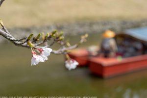桜にピントがあってない